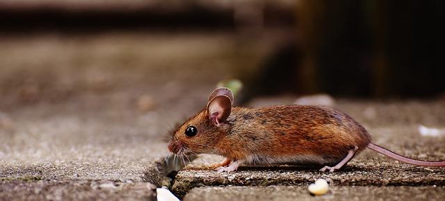 כיצד להיפטר מעכברים?