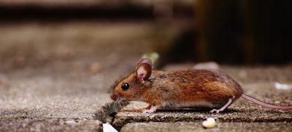 כיצד להיפטר מעכברים בבית?